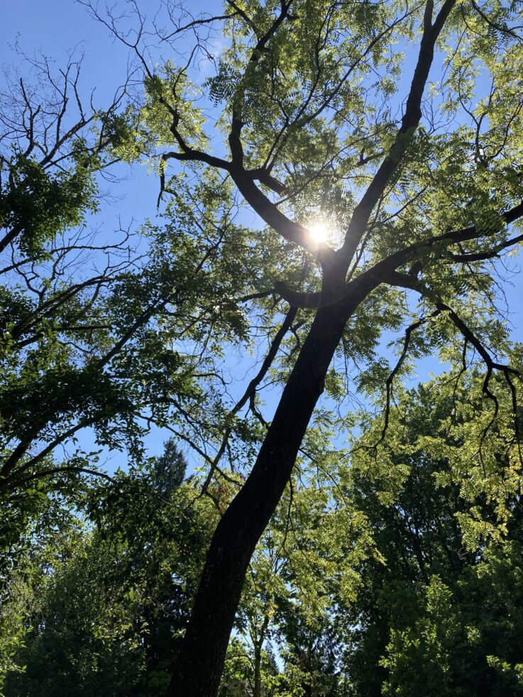 Tree + sun against the blue sky